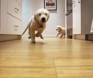 Golden Retriever Puppies Eating + Growing up